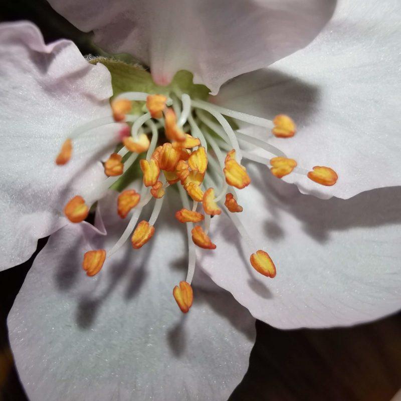 Apfelblüte 10x